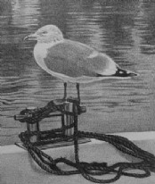 Seagull - Pencil